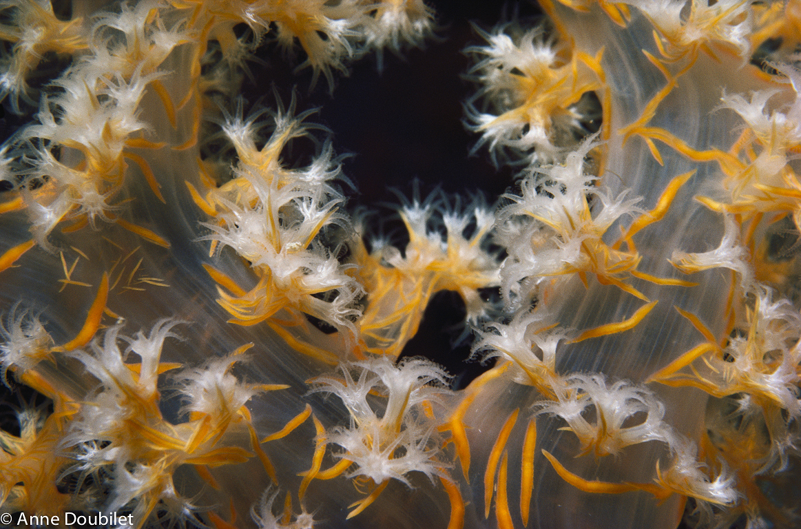 Yellow and white soft coral, Sinai, Red Sea.