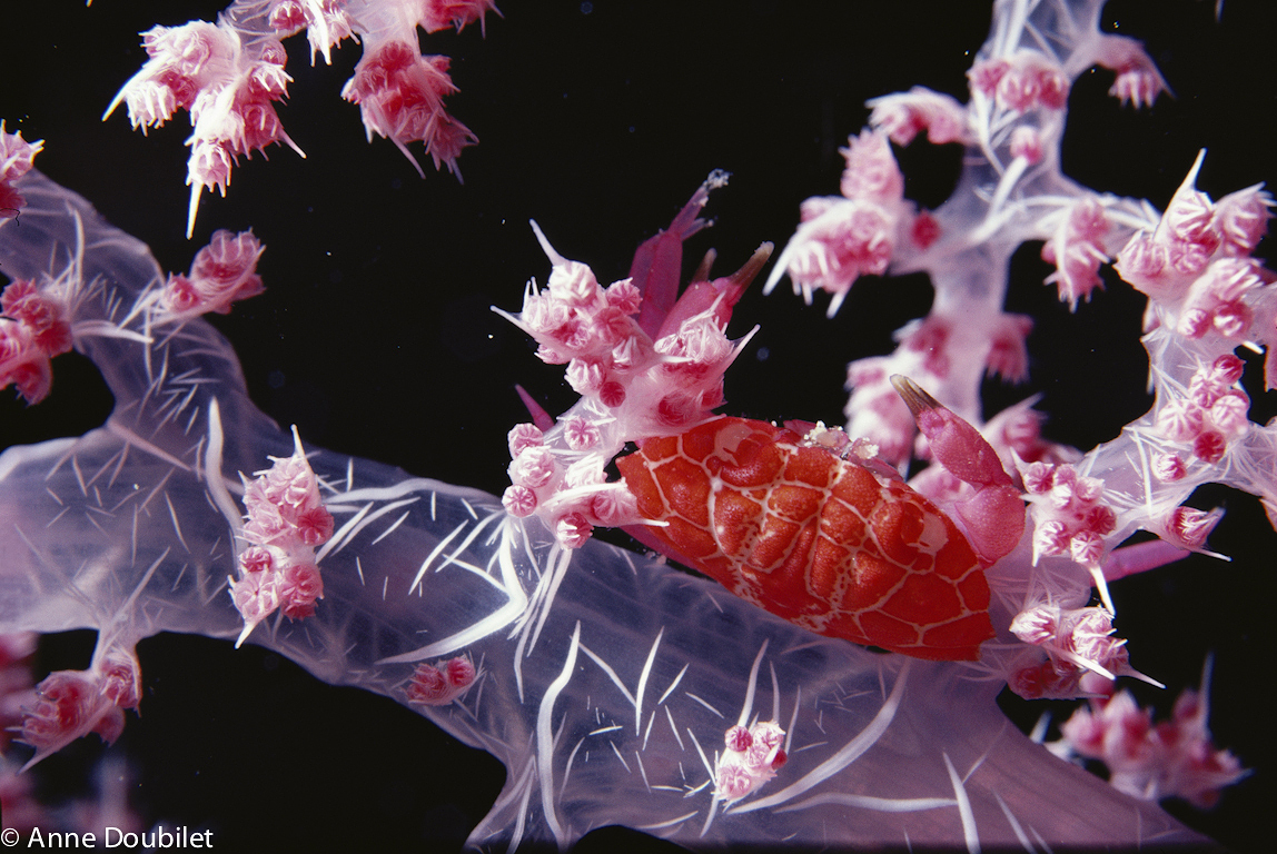 Red crab in pink soft coral, Sinai, Red Sea.