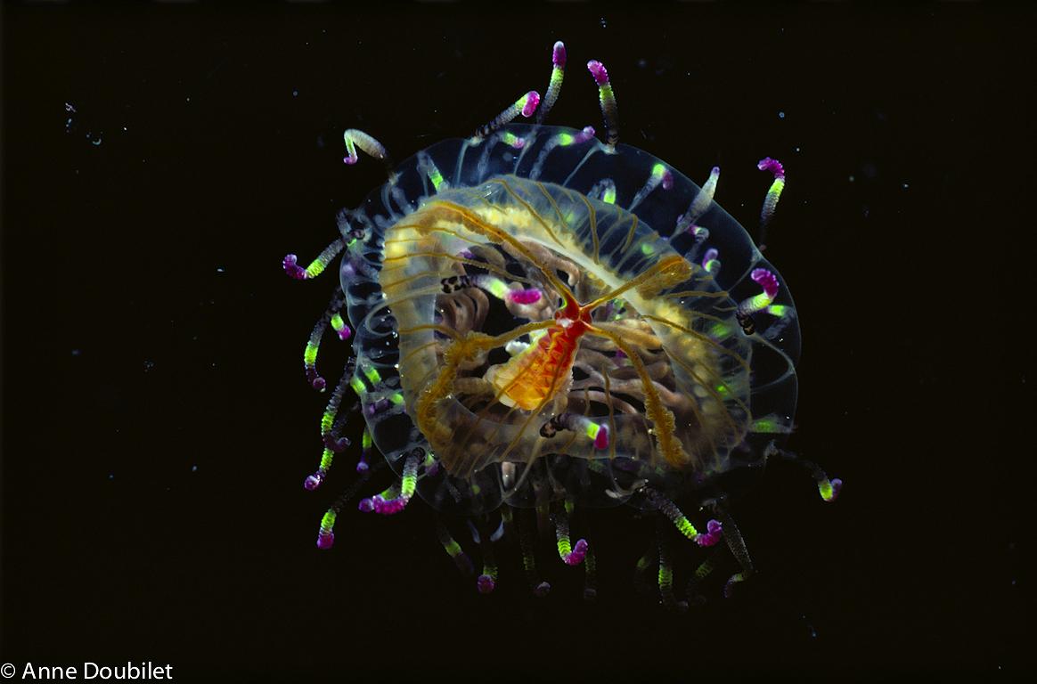 """""""Cherry blossum"""" jellyfish, Izu, Japan."""