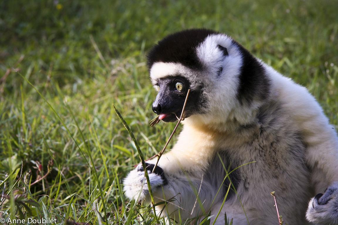 Sifaka lemur in grass, Madagascar.