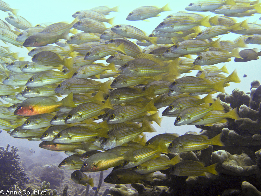School of golden grunts, Papua New Guinea.