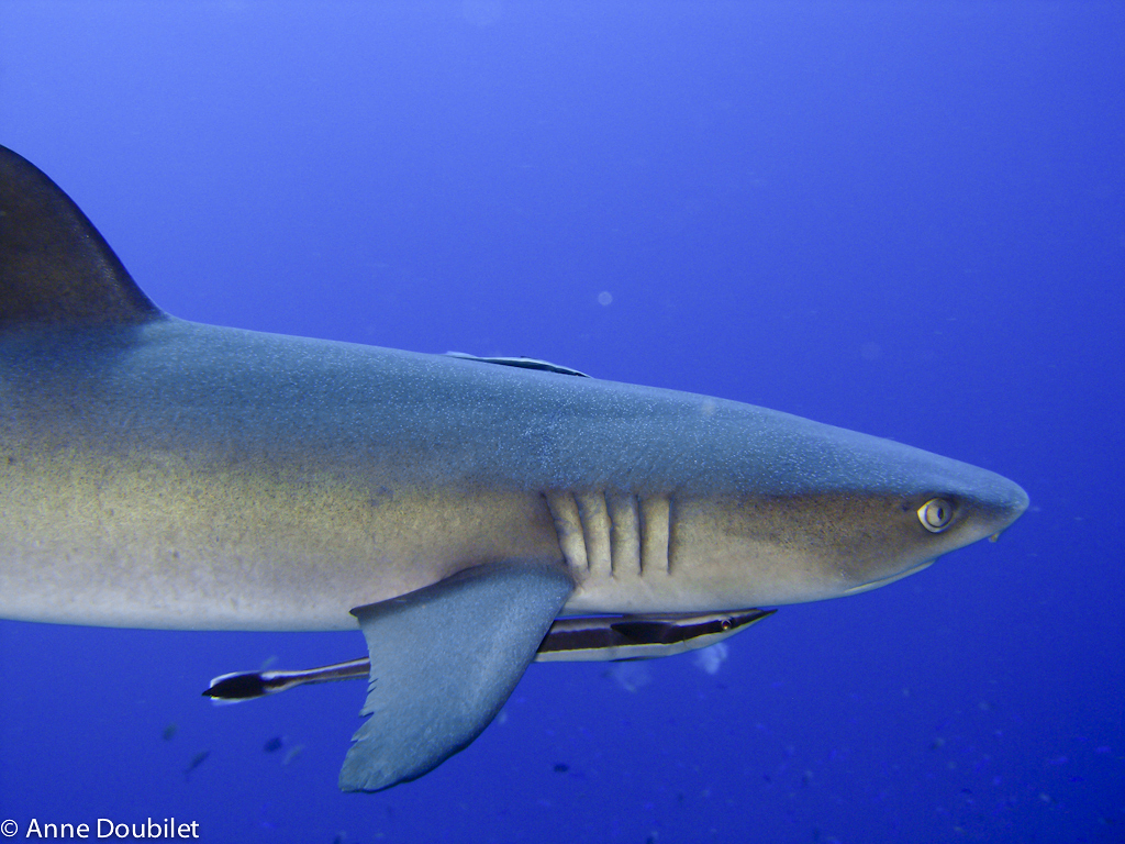 Shark with Remoras, Papua New Guinea.