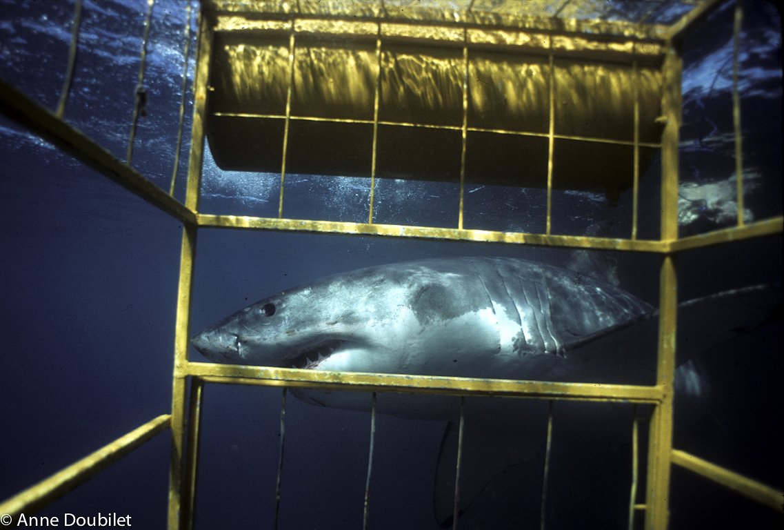 Great White Shark cruises by yellow cage, Dangerous Reef, South Australia.